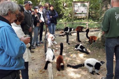 Nourrissage des lémuriens