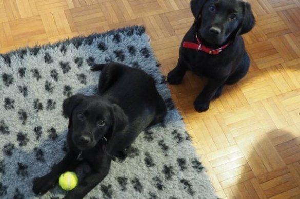 2 chiots noirs qui jouent avec une balle