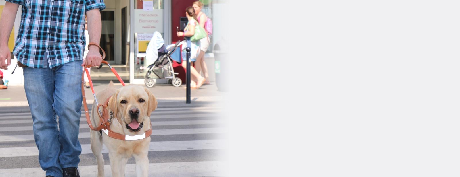 Un chien guide traversant la rue