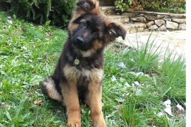 Petit chien, tête penchée dans l'herbe.